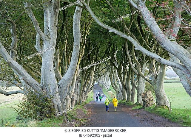 Walkers, Dark Hedges, Stranocum, Ballymoney, Co. Antrim, Northern Ireland