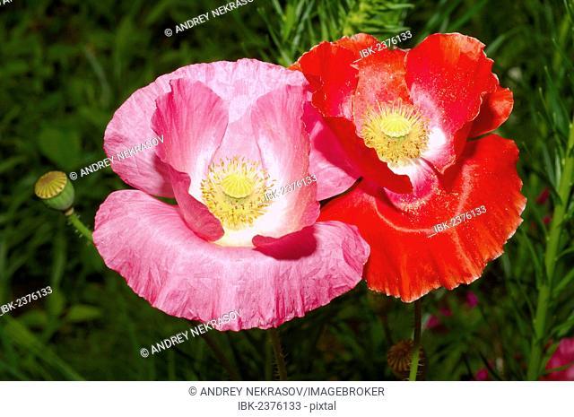 Poppy flowers (Papaver somniferum), Dalnegorsk district, Far East, Primorsky Krai, Russian Federation