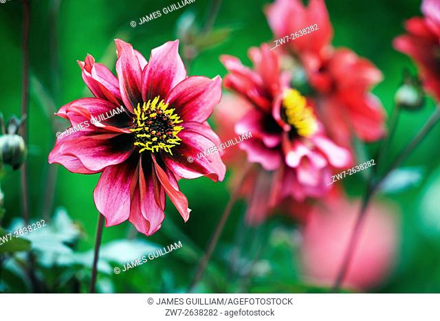 Dahlia variety Dreamy Nights