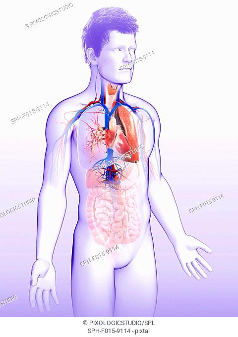 Illustration of male respiratory system