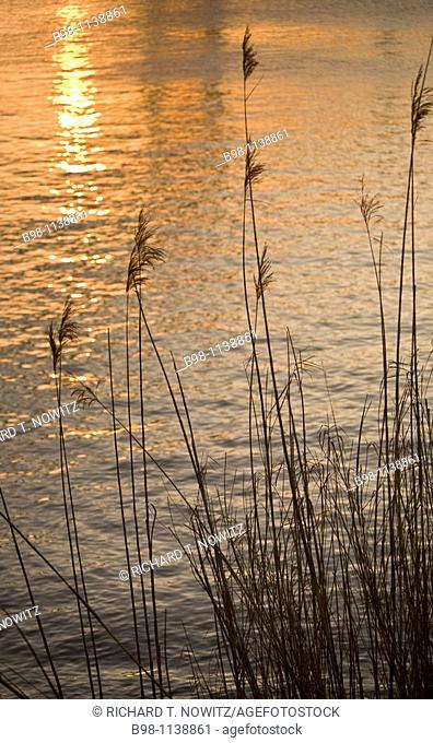 Pleasure Island Bridge, Bulrushes are perennial grass-like plants and can grow to 10 feet tall in shallow water in Sabine Neches Intracoastal Waterway