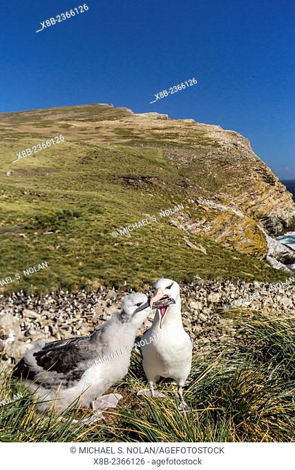 Black-browed albatross, Thalassarche melanophris, adult and chick on West Point Island, Falkland Islands, UK Overseas Protectorate