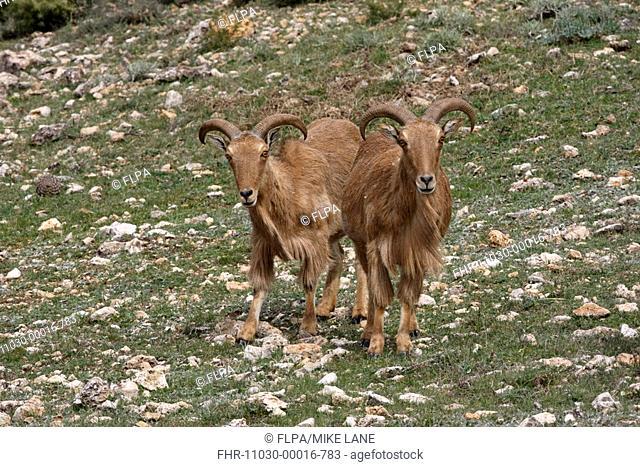 Barbary Sheep Ammotragus lervia introduced species, two adults, standing, Sierra Espuna N P , Murcia, Spain, spring