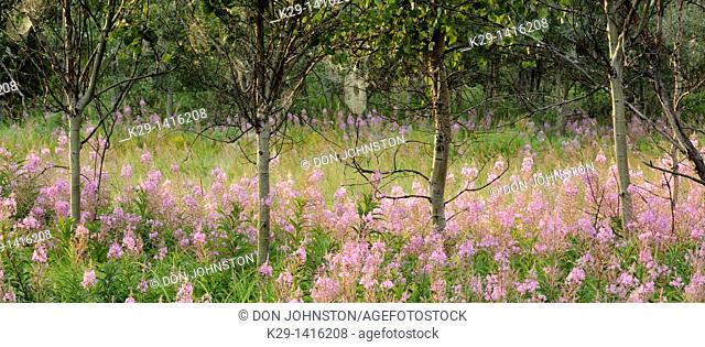 Colony of fireweed with aspens in morning dew Greater Sudbury Ontario