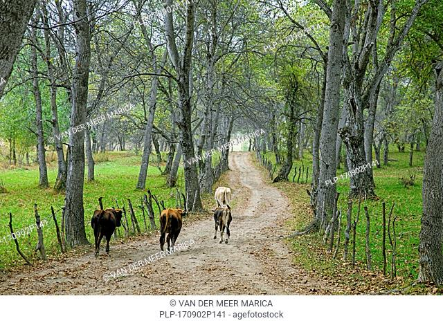 Cows running down track through forest with wild Persian walnut (Juglans regia) trees in Arslanbob / Arslonbob in the Jalal-Abad Region of Kyrgyzstan