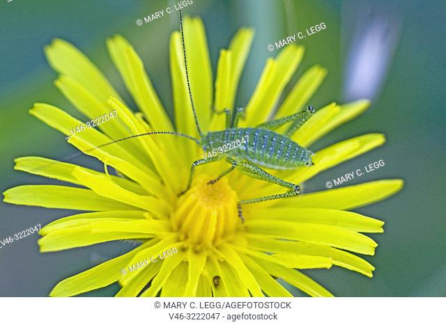 Cricket, Leptophyes albovittata on Hawkweed, Hieracium. Leptophyes albovittata is geen, spiny cricket with lateral white stripes when mature