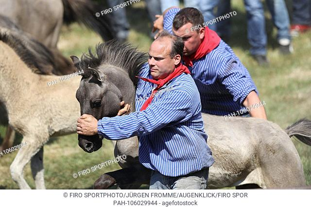 firo animals Dulmen Merfelder Bruch Wildpferdefang 26.05.2018 Fanger in the herd This year, 32 year-old stallion were caught