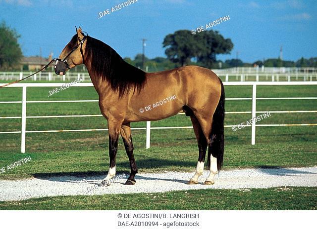 Lusitano horse (Equus caballus), Equidae