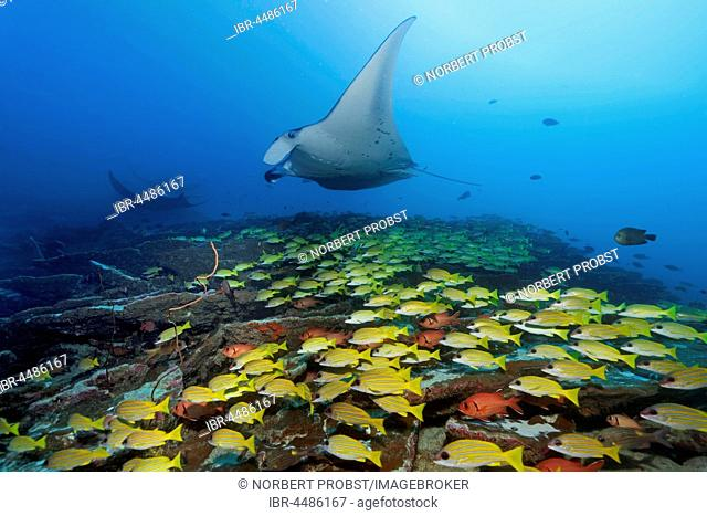 Bluestripe snapper (Lutjanus kasmira), Reef manta ray (Manta alfredi), Indian Ocean, Maldives