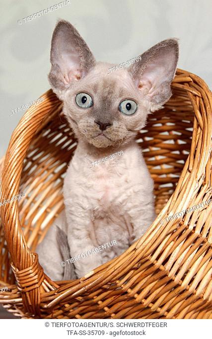 sitting Devon Rex kitten