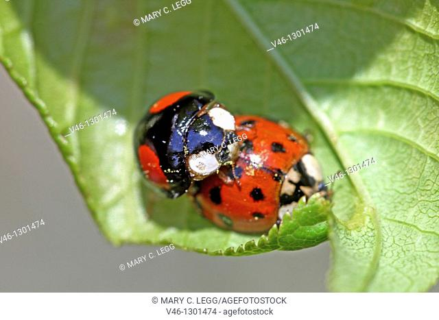 Mating Harlequin Ladybird, Harmonia Axyridis var  succinea on flowering tree  Ailanthus Altissima  Tree was covered with aphids and edibles  Male HA is black...