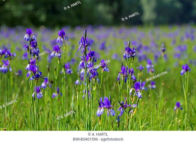 Siberian Iris, Siberian flag (Iris sibirica), blooming, Germany, Bavaria, Grabenstaetter Moor