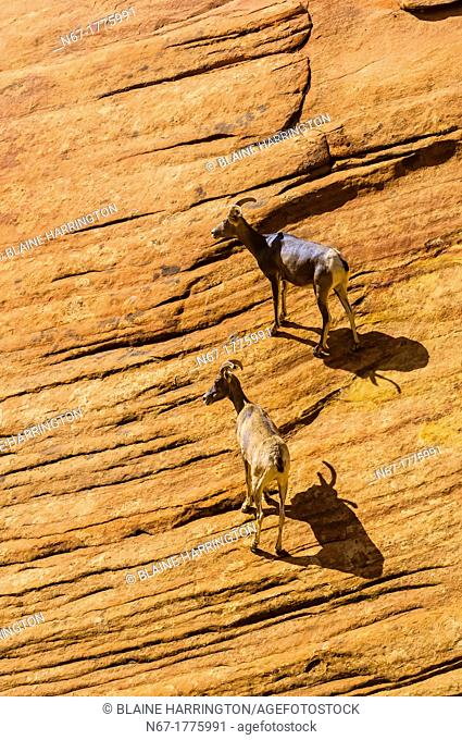 Bighorn sheep Ovis canadensis on the Zion-Mt  Carmel Highway, Zion National Park, Utah, USA