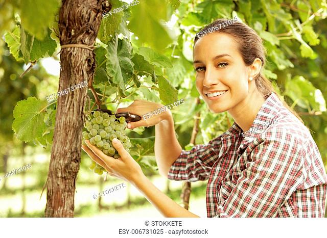 Young woman harvesting white grapes in a vineyard