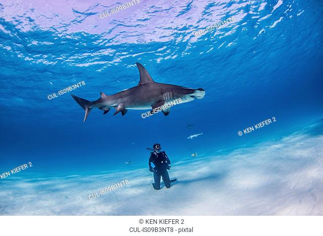 Diver watching Great Hammerhead shark, underwater view