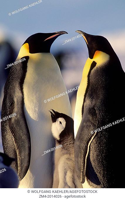 ANTARCTICA, ATKA ICEPORT, EMPEROR PENGUIN PAIR WITH CHICK, CLOSE-UP