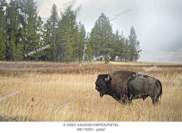 Bison at Upper Geyser Basin in Old Faithful, Yellowstone National Park, Wyoming
