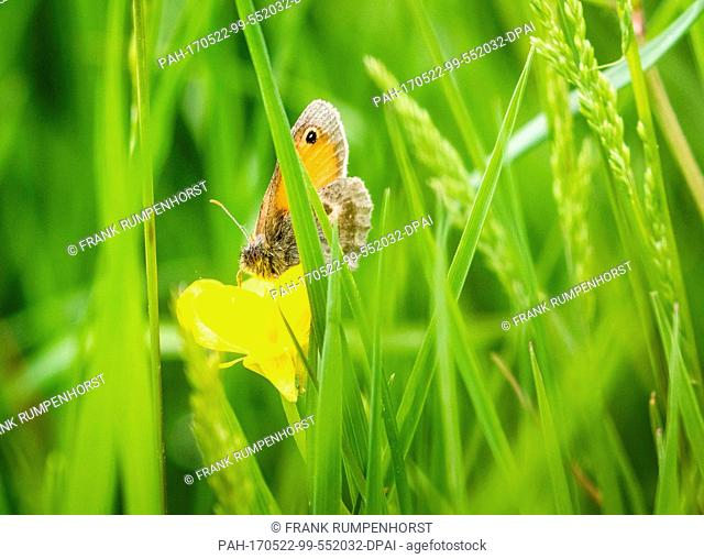 A small butterfly has settled on a buttercup in a field in Frankfurt am Main, Germany, 22 May 2017. Photo: Frank Rumpenhorst/dpa