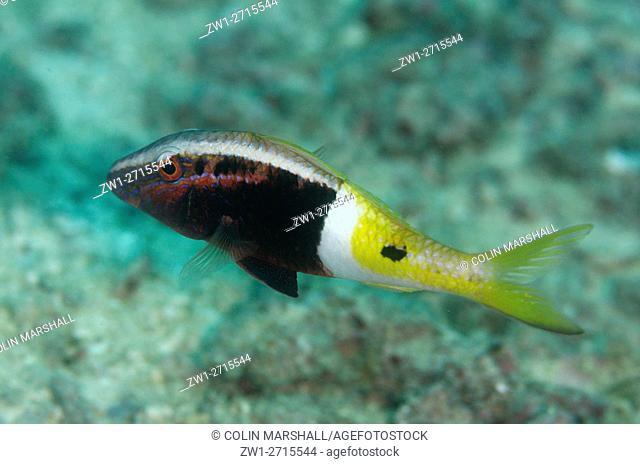 Bicolor Goatfish (Parupeneus barberinoides), Pulau Viawar dive site, Forgotten Islands, Tanimbar Island, Banda Sea, Indonesia