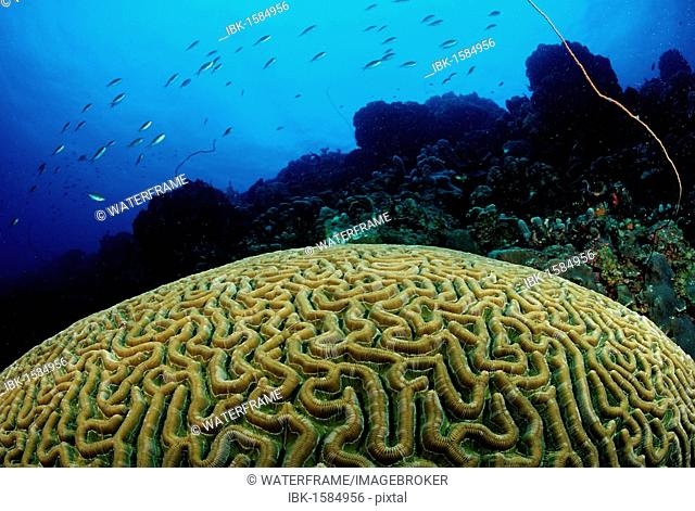 Big Brain Corals (Madreporaria), Tobago, Caribbean Sea