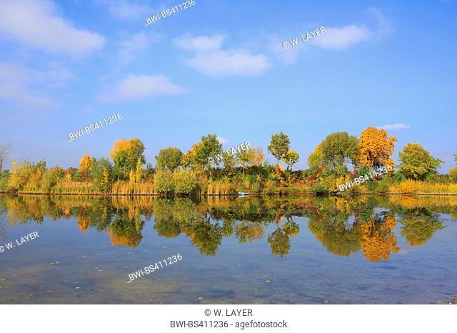 aspen, poplar (Populus spec.), foodplain forest in autum at river Rhine, Germany, Baden-Wuerttemberg, Mannheim