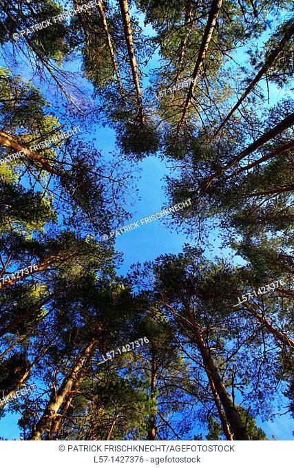 Scots pine, Kiefer, Schottische Kiefer, Pinus sylvestris, Cairngorms NP, Scotland