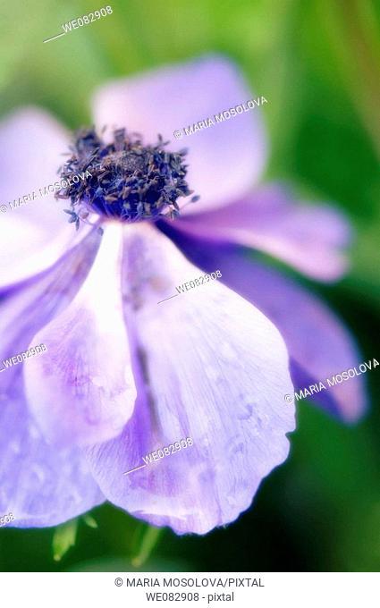 Blue Anemone Poppy. Anemone coronaria. May 2007. Maryland, USA