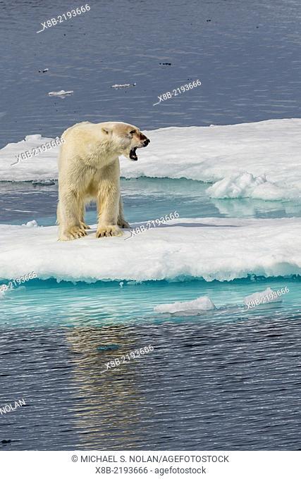 Adult polar bear, Ursus maritimus, yawning on ice floe, Cumberland Peninsula, Baffin Island, Nunavut, Canada