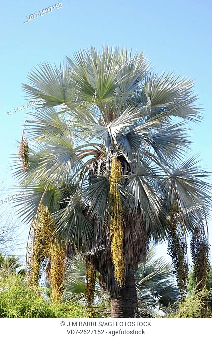 Mexican blue palm (Brahea armata) is a palm native to Baja California but widely planted as an ornamental. Angiosperms. Aracaceae