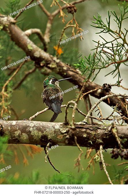 White-eared Hummingbird (Basilinna leucotis pygmaea) adult female, perched on twig, La Tigra N.P., Honduras, February