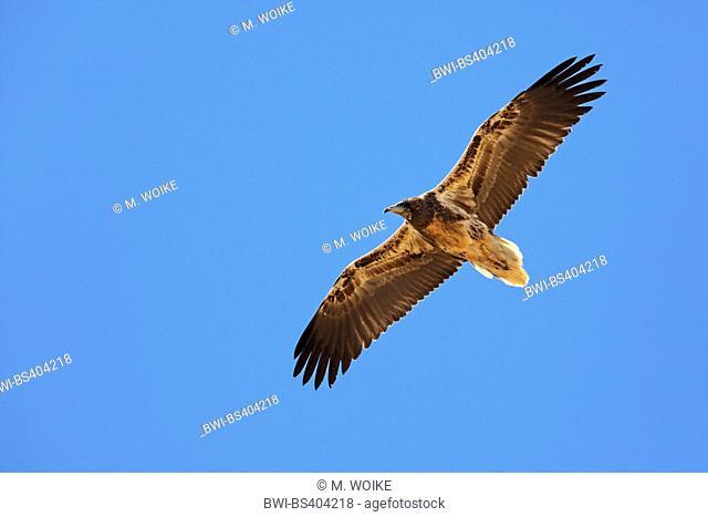 Egyptian vulture (Neophron percnopterus), in flight, juvenile, Canary Islands, Fuerteventura