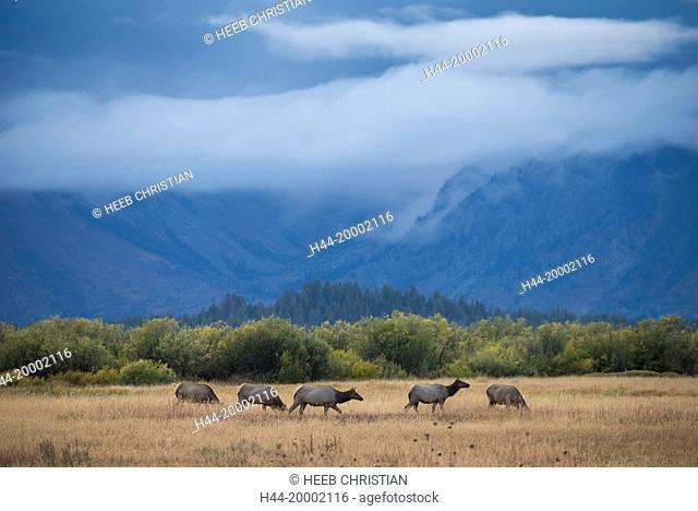 Wyoming, Grand Teton, National Park, UNESCO, World Heritage, Elk, Wapiti, wildlife, Cervus Canadensis