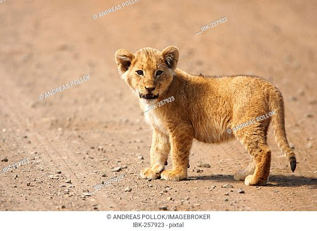 Small lion pup, Krueger National Park, South Africa