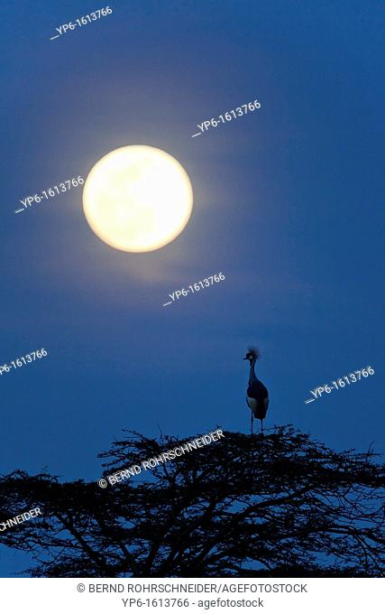 Grey Crowned Crane Balearica regulorum under the moon at night, Serengeti National Park, Tanzania