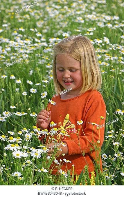 Scentless mayweed, Scentless chamomile (Tripleurospermum perforatum, Tripleurospermum inodorum, Matricaria inodora), girl picking flowers in a flowering meadow