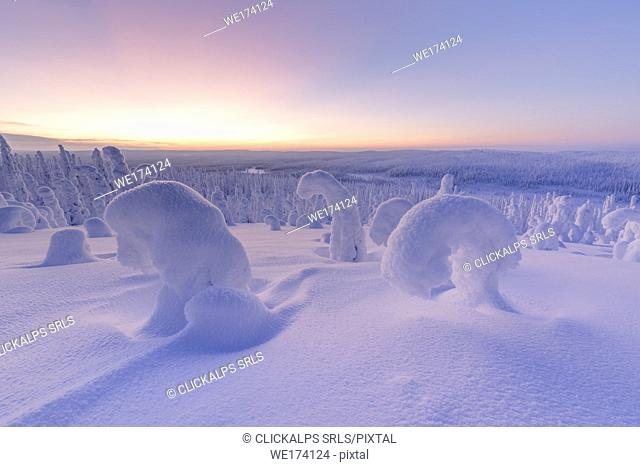 Snowy forest at dawn, Riisitunturi National Park, Posio, Lapland, Finland