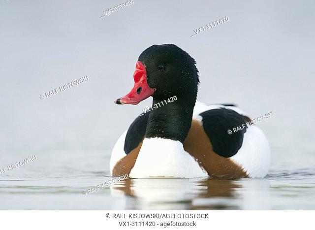 Shelduck / Brandgans ( Tadorna tadorna ), male in colourful breeding dress, swims close by, frontal low point of view, wildlife