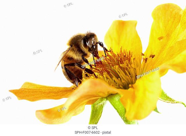 Honey bee (Apis mellifera) on a flower