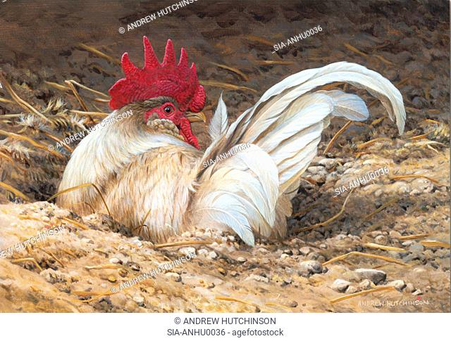 Rooster in dirt