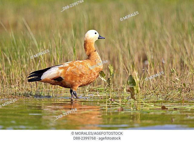 Asia,India,Uttar Pradesh,Chambal river,Ruddy shelduck (Tadorna ferruginea)