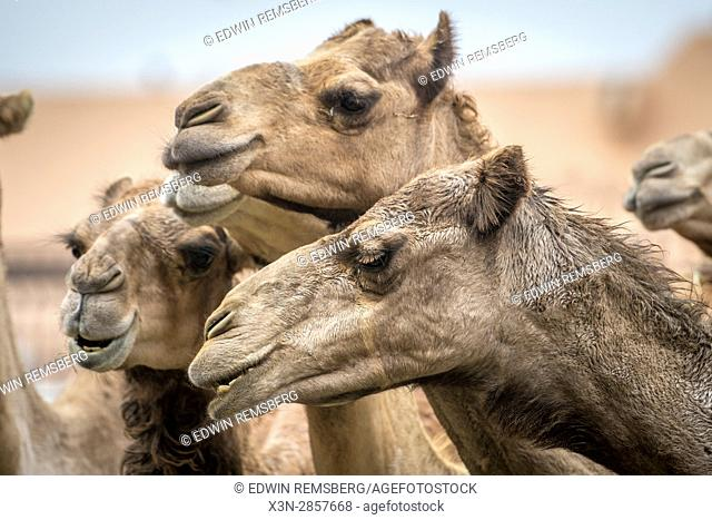 Camel calves standing together at the Al Ain Camel Market in Abu Dhabi, UAE