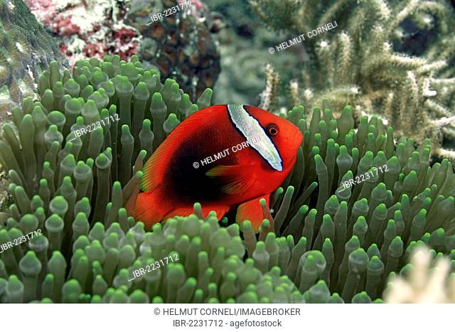 Tomato clownfish (Amphiprion frenatus), lives almost exclusively in symbiosis with bubble-tip anemones (Entacmaea quadricolor), Moalboal, province of Cebu