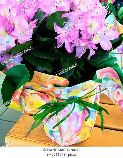 Pink hydrangeas in a flower pot