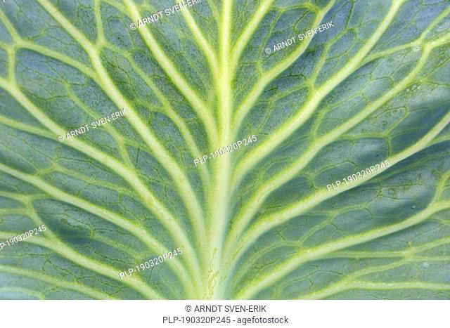 White cabbage / Dutch cabbage (Brassica oleracea convar. capitata var. alba) close-up of veins in leaf