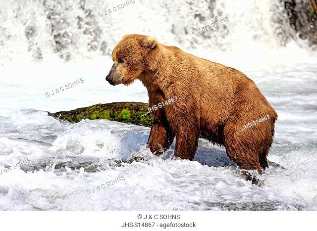 Grizzly Bear, (Ursus arctos horribilis), adult in water searching for food, Brookes River, Brookes Falls, Katmai Nationalpark, Alaska, USA, North America