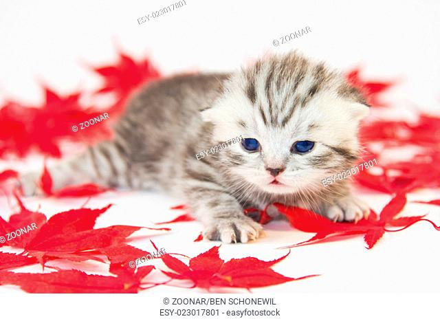 Young cat between red autumn leaves