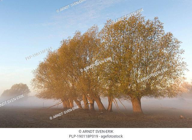 Row of pollard willows / pollarded white willows (Salix alba) in field in the mist in autumn