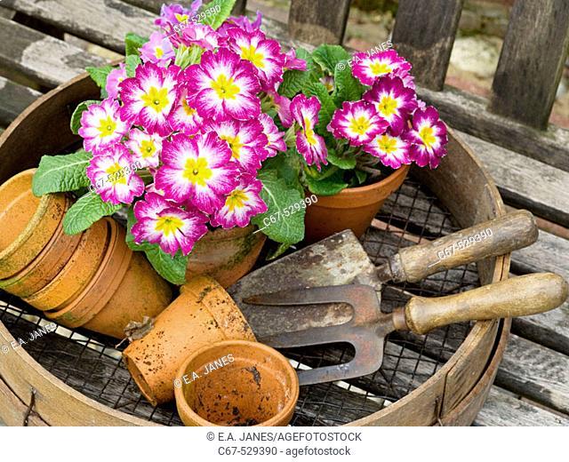 Planting Polyanthus Spring Still Life