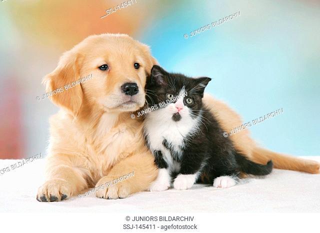 animal friendship : Golden Retriever puppy and Britsh Shorthair kitten restrictions: Tierratgeber-Bücher / animal guidebooks