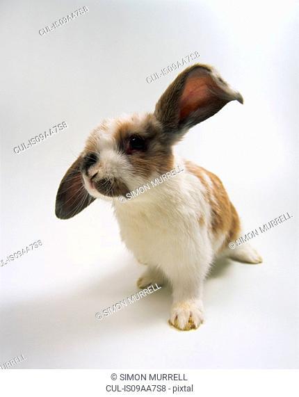 Portrait of lop eared baby rabbit